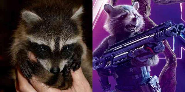 Baby Raccoon / Rocket Raccoon (Vui là chính)